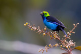 paradise tanager(Tangara chilensis)