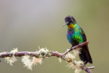 fiery-throated hummingbird(Panterpe insignis)