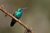 lesser violetear(Colibri cyanotus)