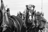 Budweiser Clydesdales 6-21-2014