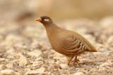 Sand Partridge (Ammoperdix heyi)