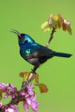 Palestine Sunbird (Nectarinia osea)