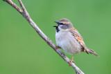 Dead Sea Sparrow (Passer moabiticus)