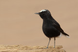 White-crowned Black Wheatear (Oenanthe leucopyga)