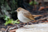 Thrush Nightingale (Lucinia lucinia)