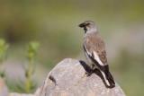 White-winged Snow Finch (Montifringilla nivalis)