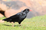 Red-billed Chough (Pyrrhocorax pyrrhocorax)