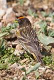 Red-fronted Serin (Serinus pusillus)