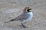 Atlas Horned Lark (Eremophila atlas)