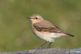 Northern Wheatear (Oenanthe oenanthe) ssp. oenanthe