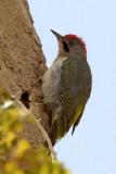 Levaillant's Green Woodpecker (Picus vaillantii)