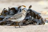 Baird's Sandpiper (Calidris bardii)