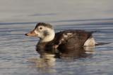 Long-tailed Duck (Clangula hyemalis)