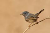 Tristram's Warbler (Sylvia deserticola)