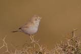 African Desert Warbler (Sylvia deserti)