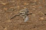Greater Hoopoe Lark (Alaemon alaudipes boavistae)