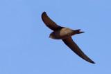 Cape Verde Swift (Apus alexandri)