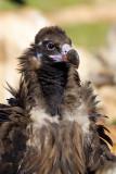 European Black Vulture (Aegypius monachus)