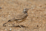 Greater Hoopoe Lark (Alaemon alaudipes)