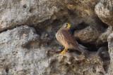 Greater Cape Verde Kestrel (Falco alexandri)