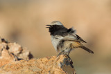 Red-rumped Wheatear (Oenanthe moesta)