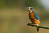 Kingfisher (Alcedo athis)