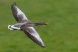Grey-lag Goose (Anser anser)