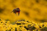 Long-tailed Meadowlark (Sturnella loyca)