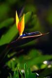 Strelitzia or bird of paradise