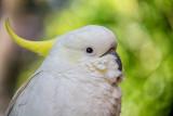 Sulphur crested cockatoo close up