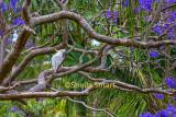 Cockatoo in jacaranda