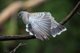 Crested pigeon feathers