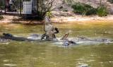 Alligator feeding time