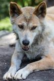 Dingo male