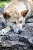 Relaxed male dingo