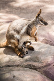 Yellow footed rock wallaby with joey