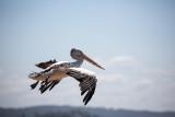 Australian white pelican in flight