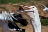 Pelican with fish