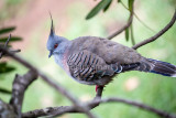 Crested pigeon in protea