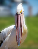 Australian white pelican