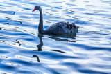 Single black swan