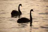 Two black swans late afternoon