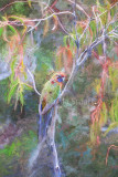 Female crimson rosella in tree in Snowy Mountains