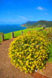 Stanwell Tops daisies