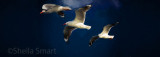 Three Silver gulls in flight