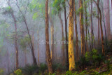 Mist in eucalyptus forest