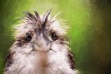 Punk kookaburra