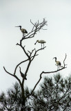 Heron, spoonbill and ibises in same tree at Narrabeen