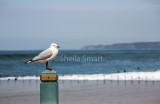 Gull on post in Newcastle, NSW