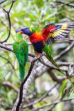 Rainbow lorikeet flapping